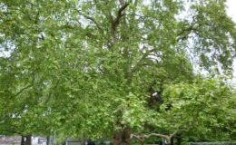 Yalova ve Çınar Ağacı